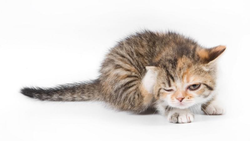 Блошиный дерматит у кошки: почему появляется и как от него избавиться