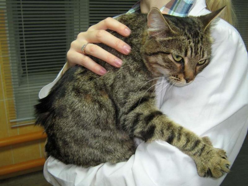 Перитонит у кошек: симптомы и лечение заболевания
