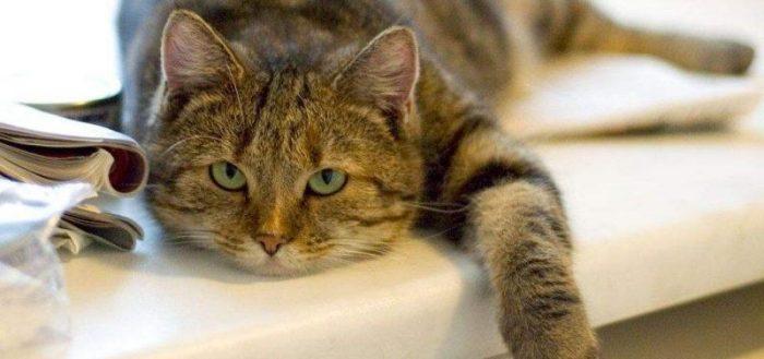 Пребиотик для кошек Viyo