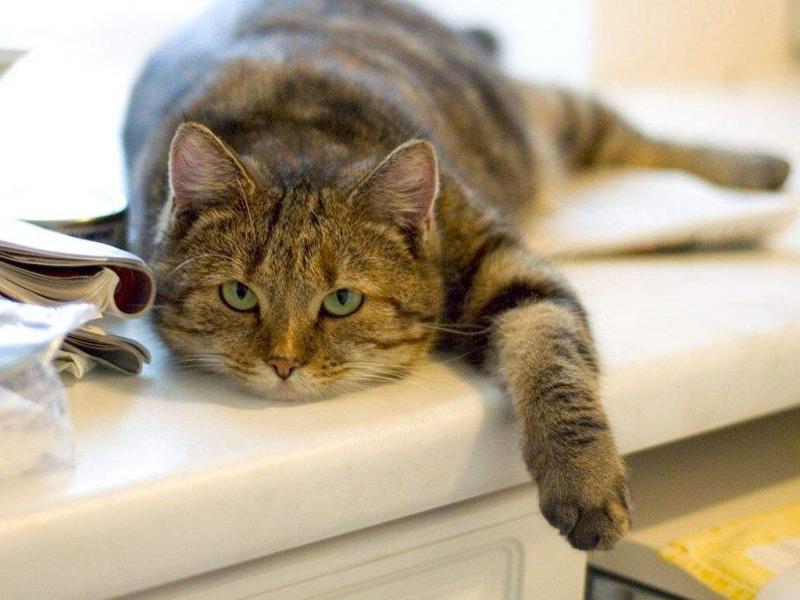 ПребиотикViyo: быстрое восстановление микрофлоры ЖКТ у кошки