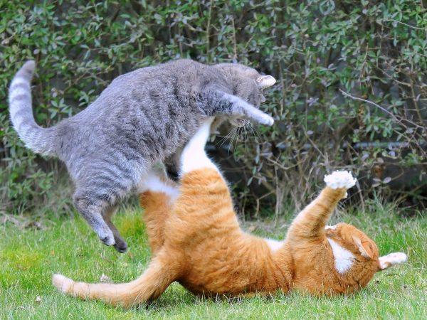 Кошки дерутся на улице