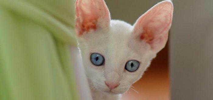 уши кота