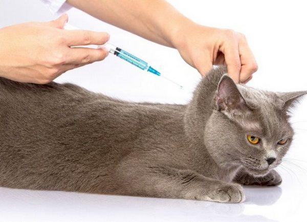 Кошке делают укол в холку
