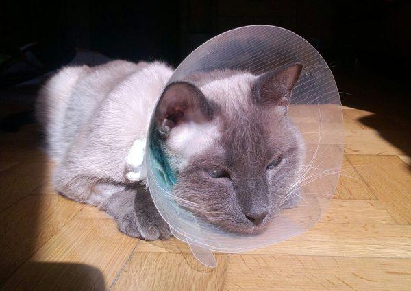 Кот в медицинском воротнике