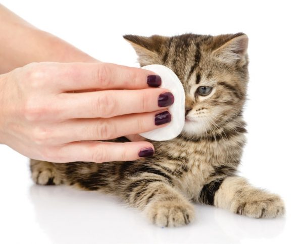 Женская рука протирает котёнку мордочку ватным диском