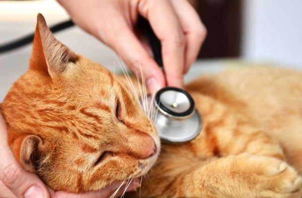 Рыжего кота, лежащего на человеческой руке, слушают с помощью фонендоскопа