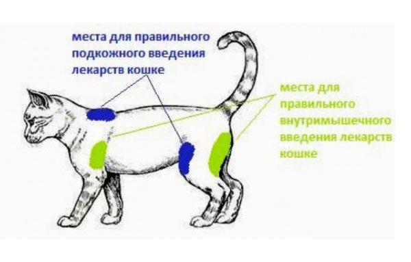 Места для уколов кошке