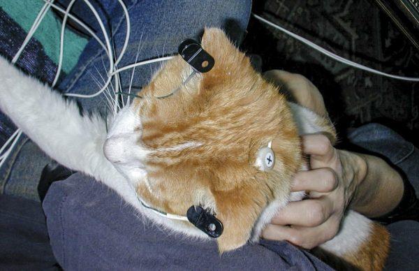 Проведение электроэнцефалографии кошке