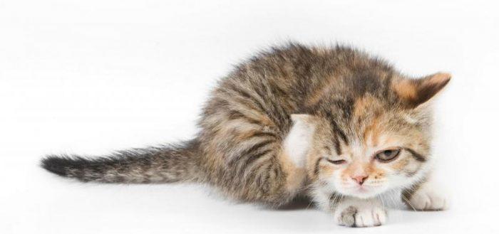 Саркоптоз у кошек.