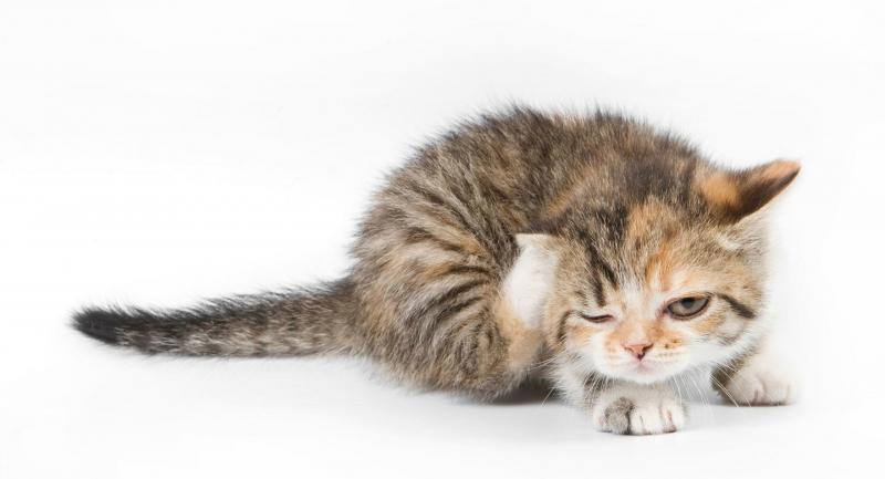 Саркоптоз у кошек: как вылечить патологию