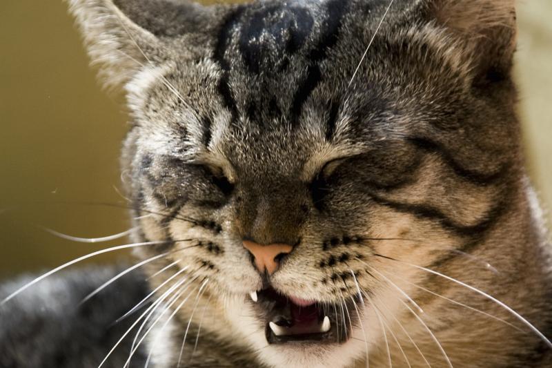 Кашель у кота: причины, диагностика, лечение и профилактика