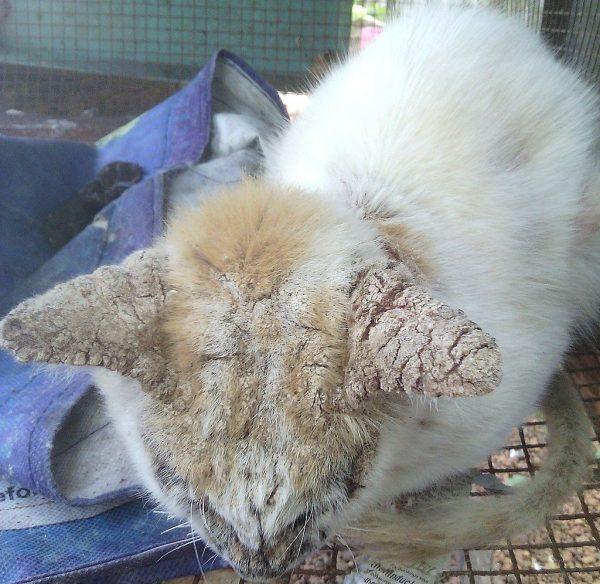 Саркоптоз у кошки