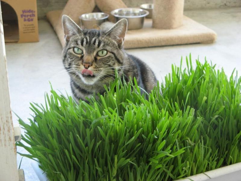 Почему кошки едят траву и для чего она им