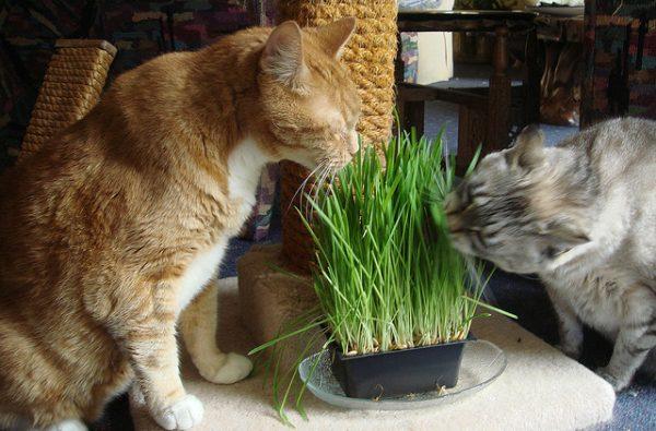 Две кошки едят траву