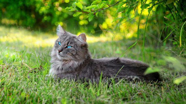 Длиношёрстная кошка