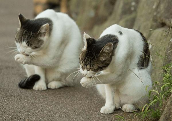 Кошки умываются