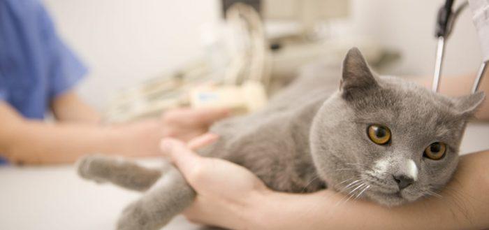 Рак молочной железы кошки