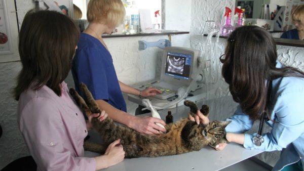 УЗИ молочных желёз у кошки