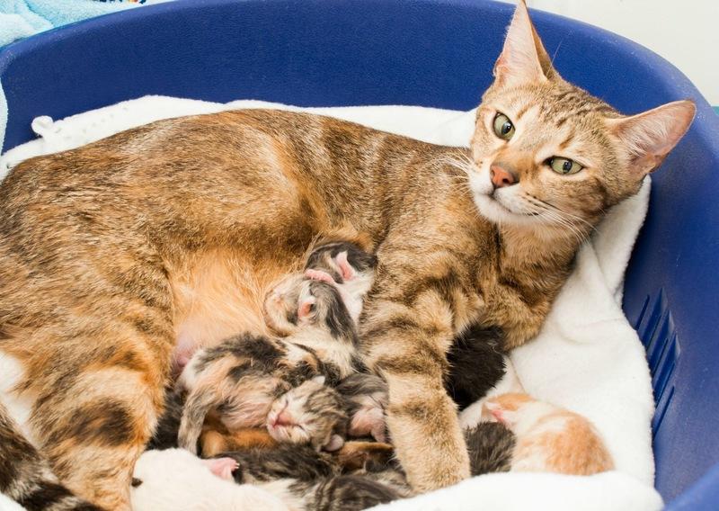 Сметана и мясной бульон в рационе кормящей кошки