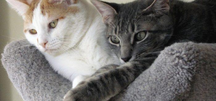 Любовь двух кошек