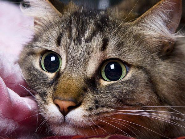 Своевременность лечения спасёт кошку