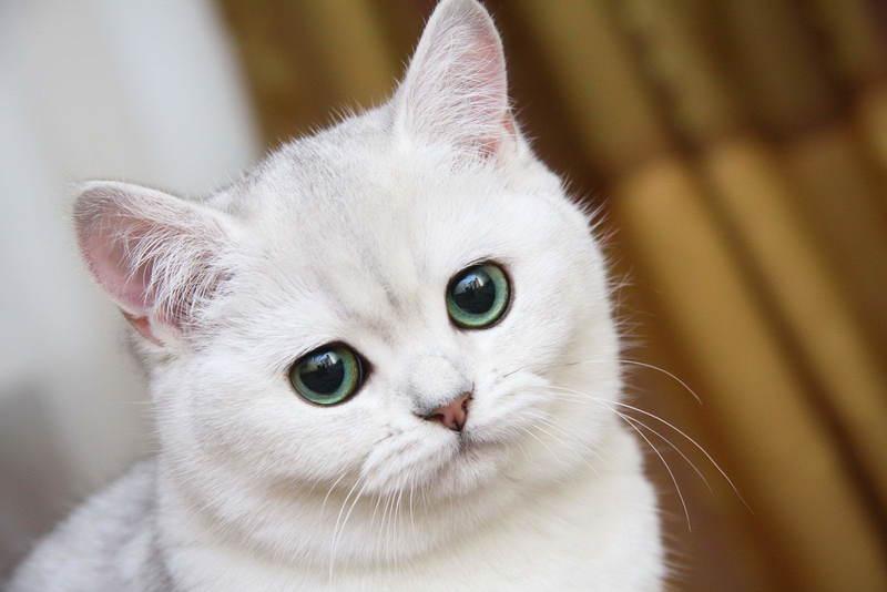 Почему возникает гангренозный стоматит у кошек и как от него избавиться