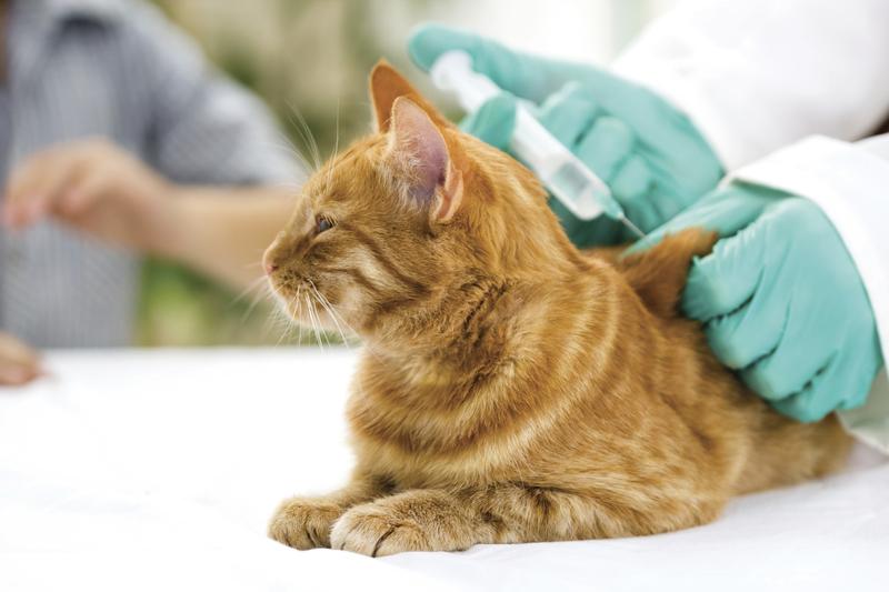 Вакцинация кошек от бешенства — необходимость и тонкости процедуры