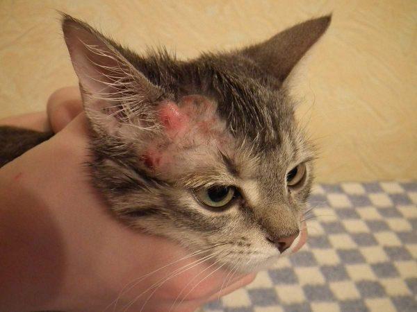 Морда кошки с воспалением кожи и залысиной возле уха