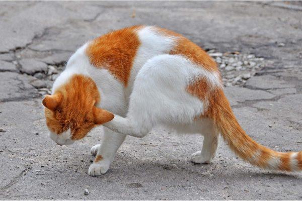 Бело-рыжий кот чешет ухо задней лапой, наклонив вниз голову на ходу