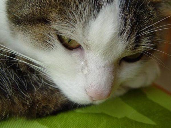 Кошка положила морду на лапы, а из глаза течёт слеза