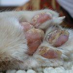 Лапа кошки с шелушащимися подушечками и наростами на пальцах