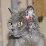 Серый кот с расчёсанным до крови ухом