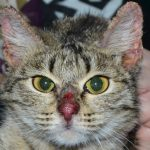 Полосатый кот с дерматитом на носу и в области ушей