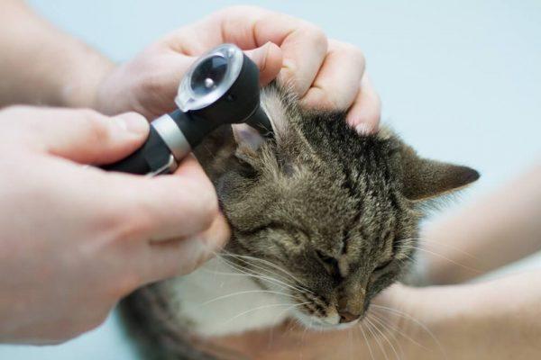 Воспаление среднего уха у кошки