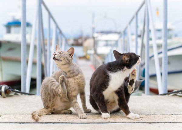 Кошки чешутся