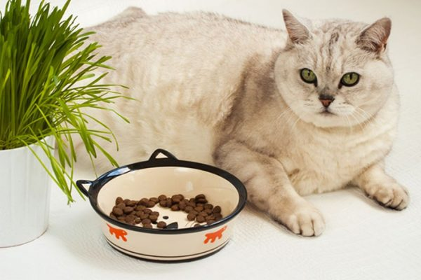 Ожирение у кошки