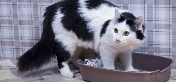 Кошка ходит по-большому с кровью