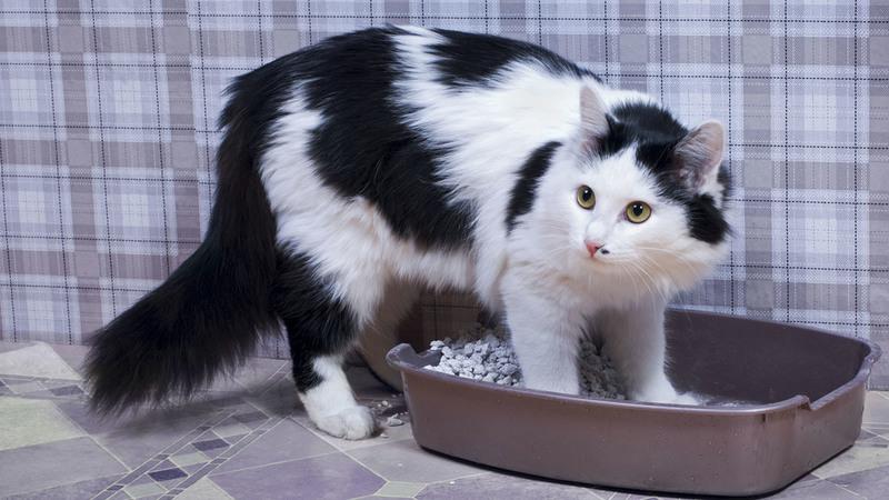 Кровь в кале у кота в конце дефекации