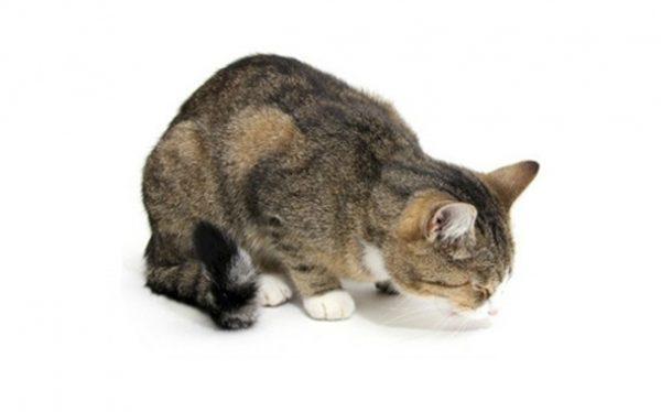 Кошка приняла вынужденную позу