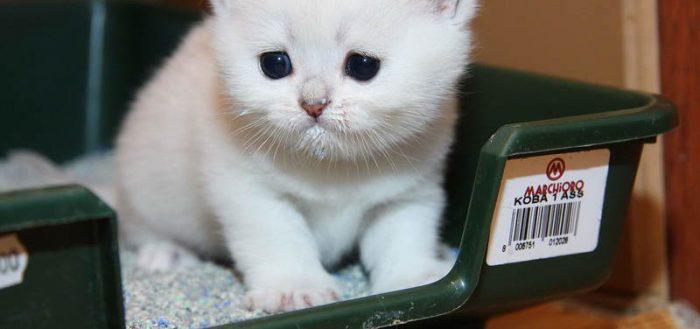 Проблемы с мочеиспусканием у котят и взрослых кошек
