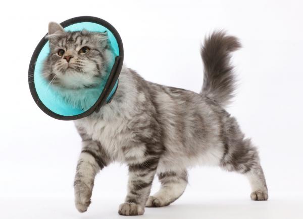 Кот в ветеринарном воротнике