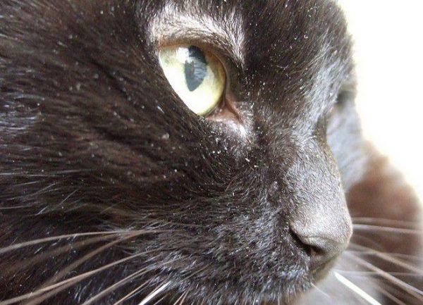Сухая перхоть у кошки