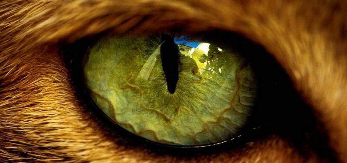 Слезятся глаза у кота