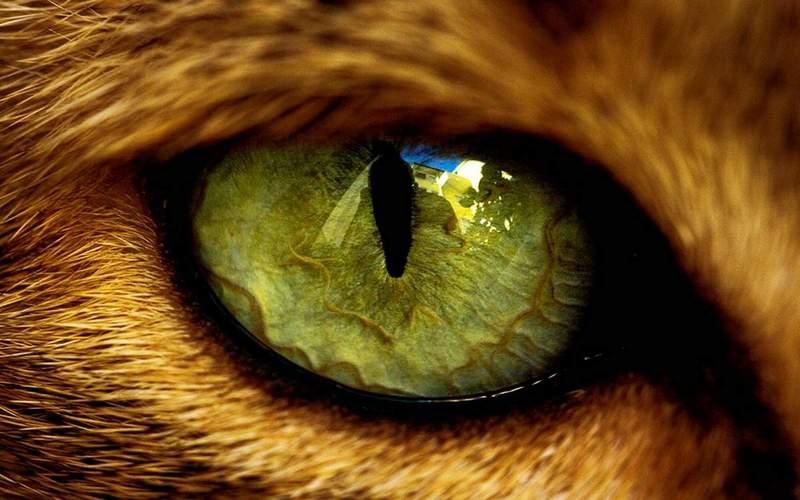 Как справиться с болезнями глаз у кошек