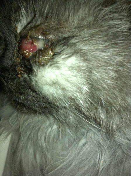 Как выглядел глаз кота до операции