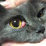 Выпадение слёзной железы у кота