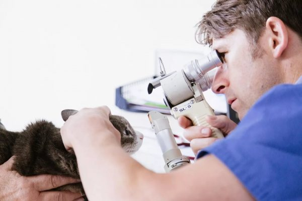 Ветеринар осматривает глаз кота