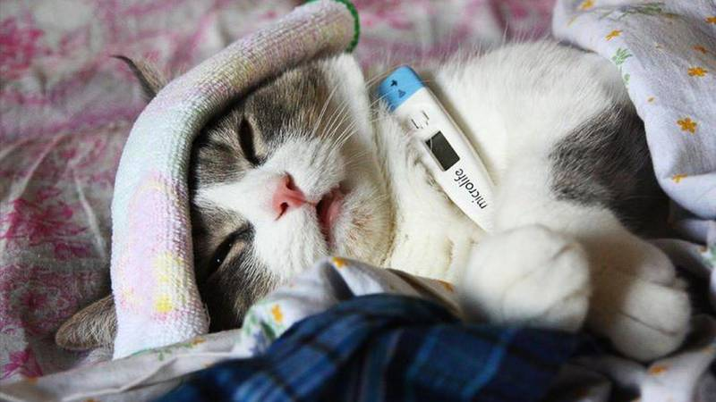 Болезни глаз у кошек: симптомы и лечение