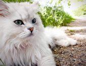 Белый кот лежит