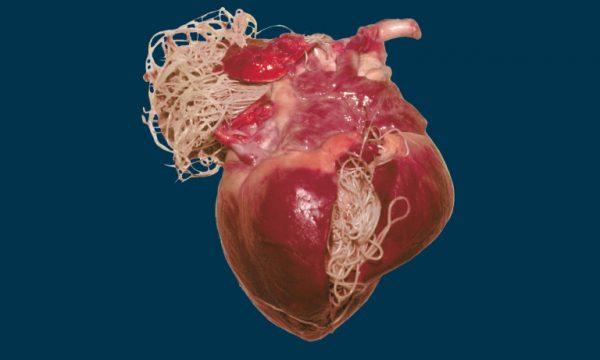 Дирофилярии в сердце